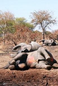 Tchad: 86 éléphants tués en deux jours par des braconniers  dans ACTUALITES a35db470-35ea-11e0-878a-6ecfea49c1b9-205x300