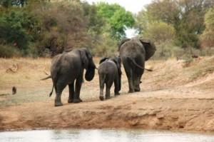 Etat de guerre pour défendre les derniers éléphants du Tchad dans ACTUALITES safari_elephant61-300x199