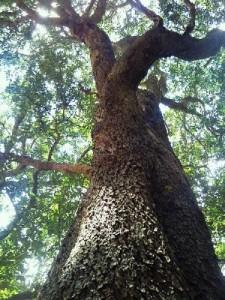 Tchad : Lancement de la semaine nationale de l'arbre 2013 dans ACTUALITES arbre-tchad-225x300